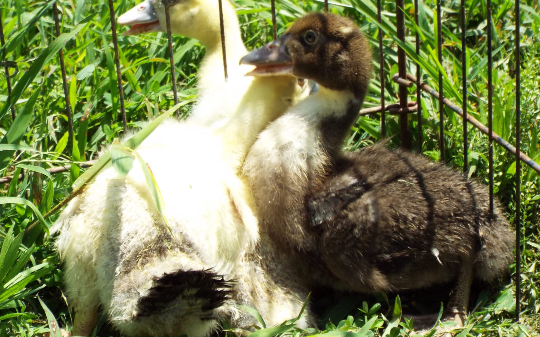 Baby Muscovy Ducks at 1 Month - Charmed Chicken