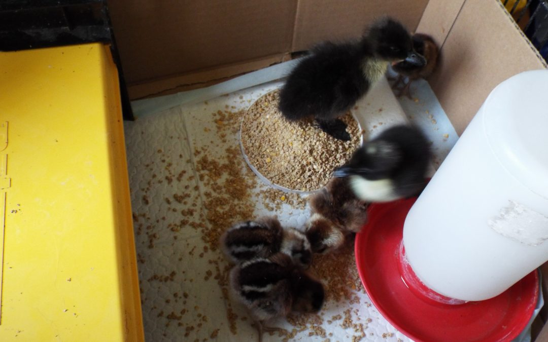 Baby Chicks & Cats (Or how to Predator Proof Your Chicks Indoors)